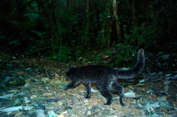 felino-margay-melanico.jpg