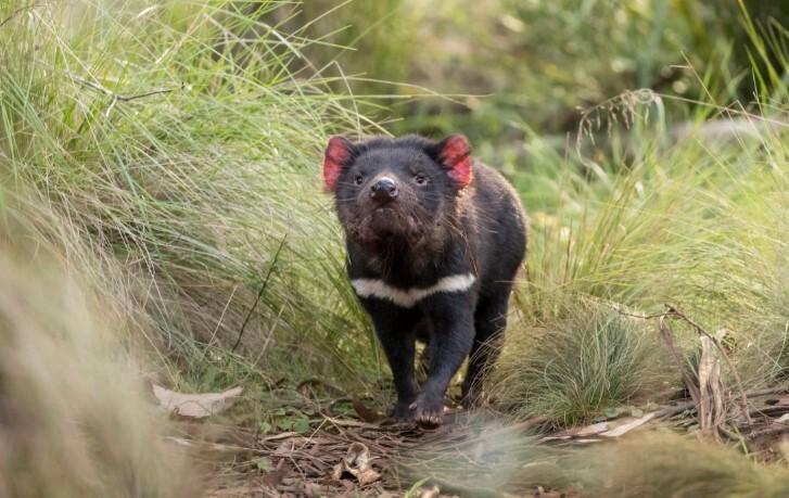 Demonio de tasmania .jpg