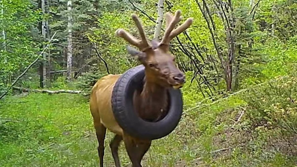 Alce con neumático