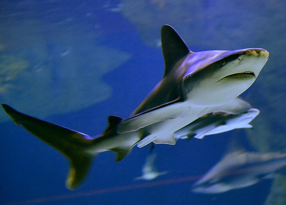 347219_BLU Radio. Tiburón, referencia / Foto: AFP