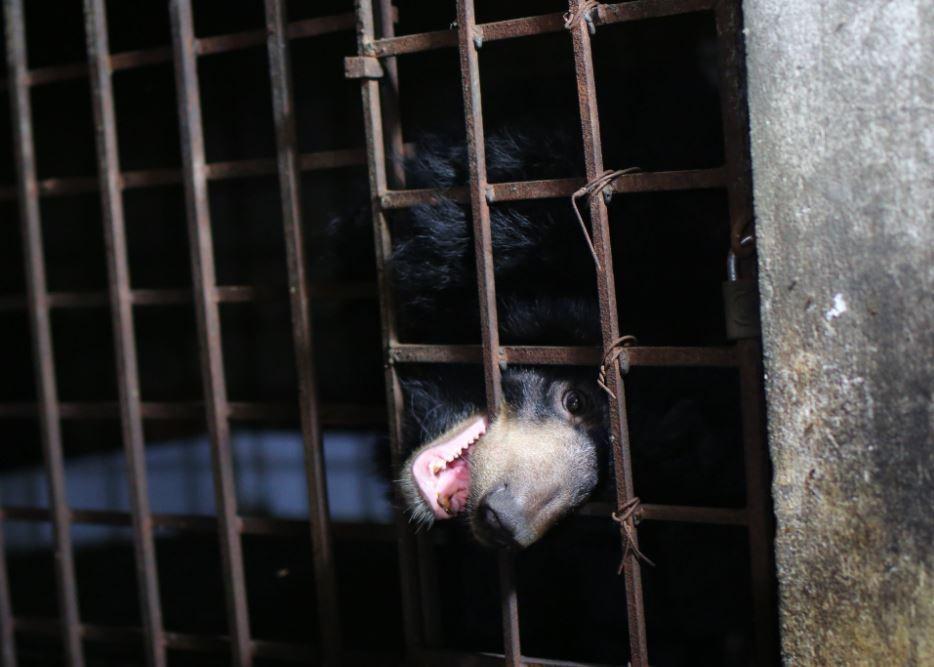 rescate de osos en Vietnam