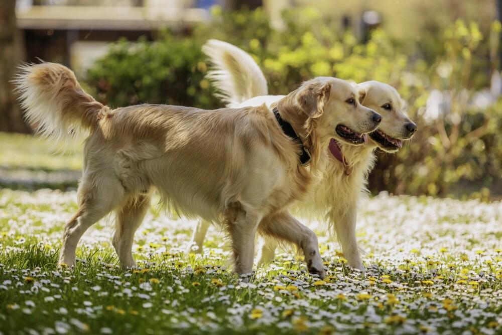 Descubre cómo y cuando cruzar a tu mascota.