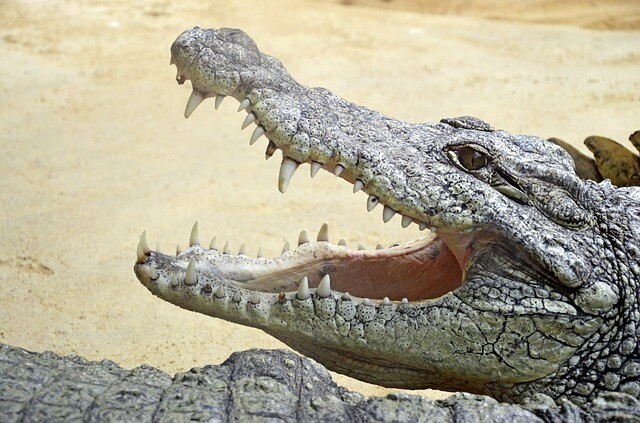 Presentador ahuyenta a gigantesco cocodrilo solo con un pequeño palo