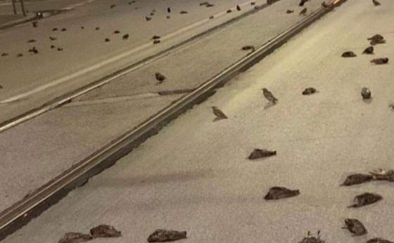 aves murieron en roma por los fuegos artificiales.PNG