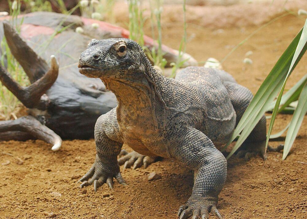 GBR: Komodo Dragons Arrive At London Zoo