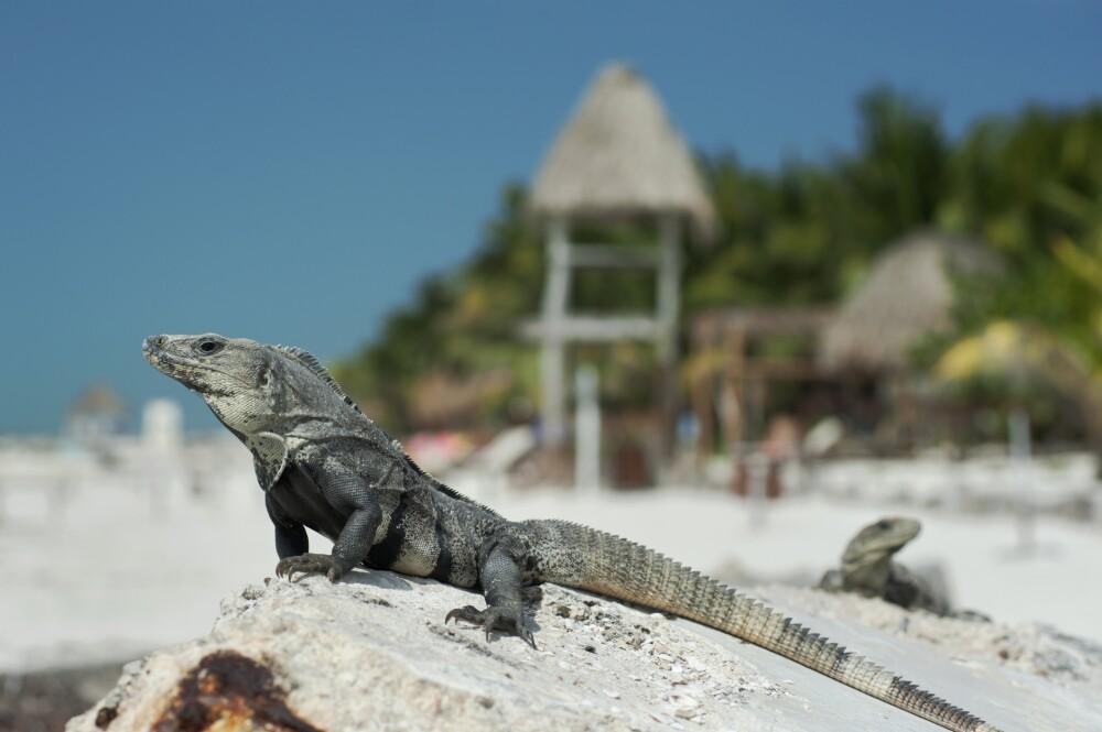 Iguanas at the beach on Holbox Island, Mexico