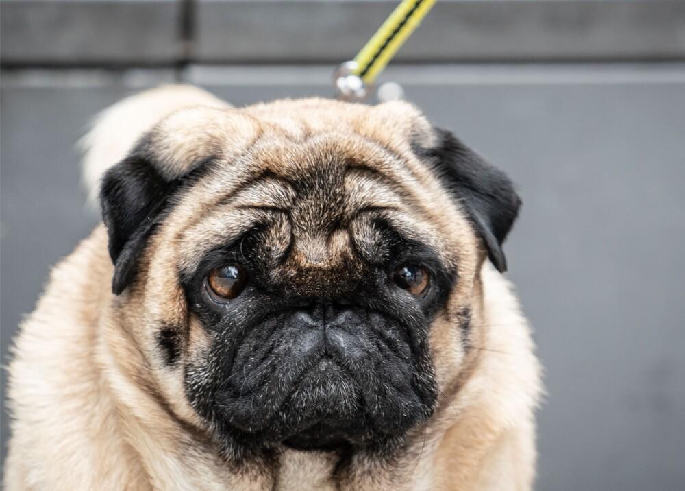 perro-pug-mascota-dog-afp.jpg
