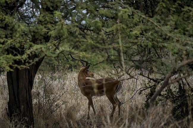 impala animales