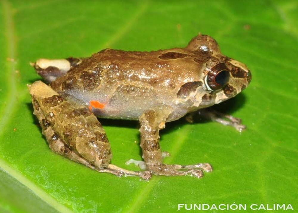 rana encontrada en el valle del cauca.jpg