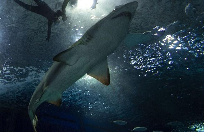 tiburon referencia_afp.jpg