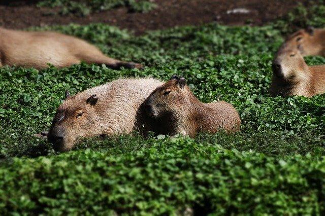 Invasión de chigüiros en exclusivo sector de Argentina genera polémica