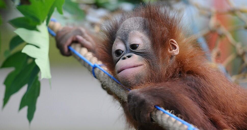 377747_orangutan_2.jpg