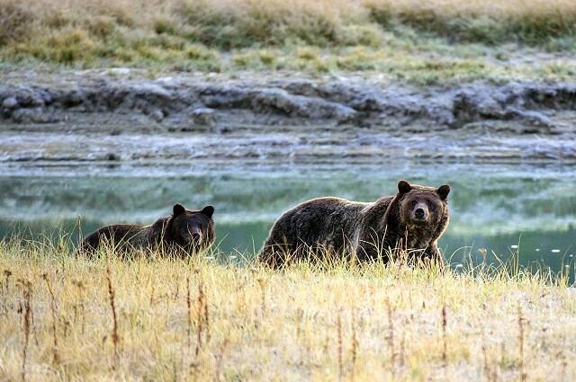 Oso en el parque Yellowstone