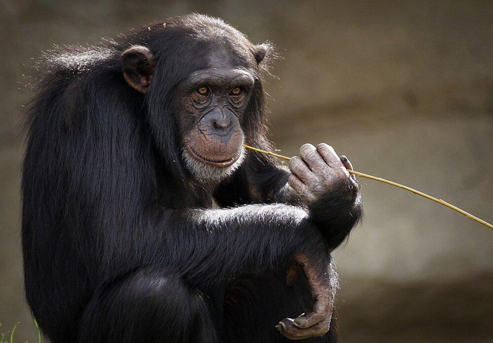 chimpanzee-3703230_1280.jpg