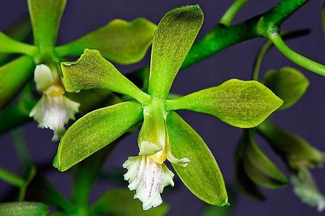 180315-orquidea-encyclia-parkeri.jpg