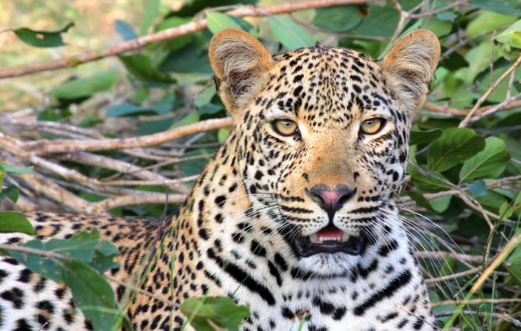 Leopardo mordió en la cara a una modelos durante sesión de fotos