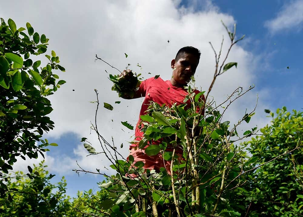 Cultivo de coca.jpeg