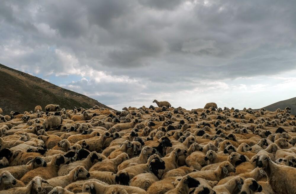 Más de 500 ovejas murieron al caerles un rayo mientras pastaban