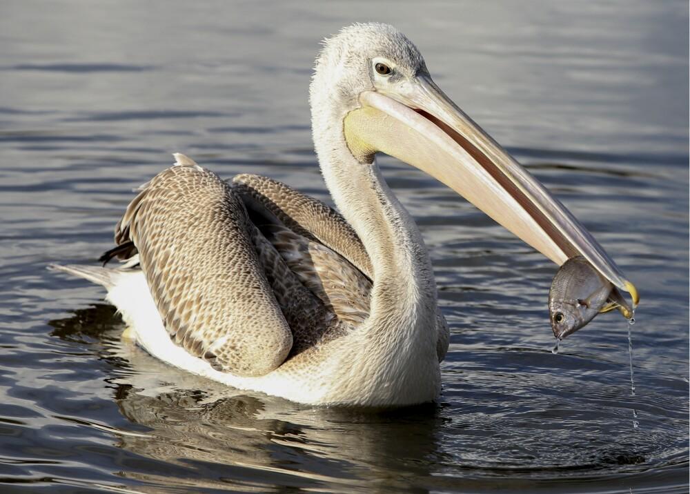 Pelicano AFP