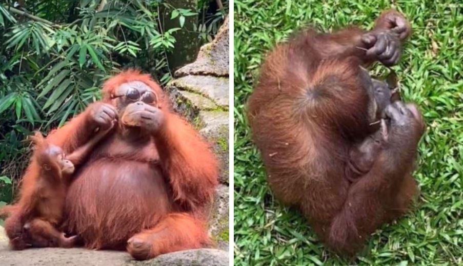 orangutan gafas