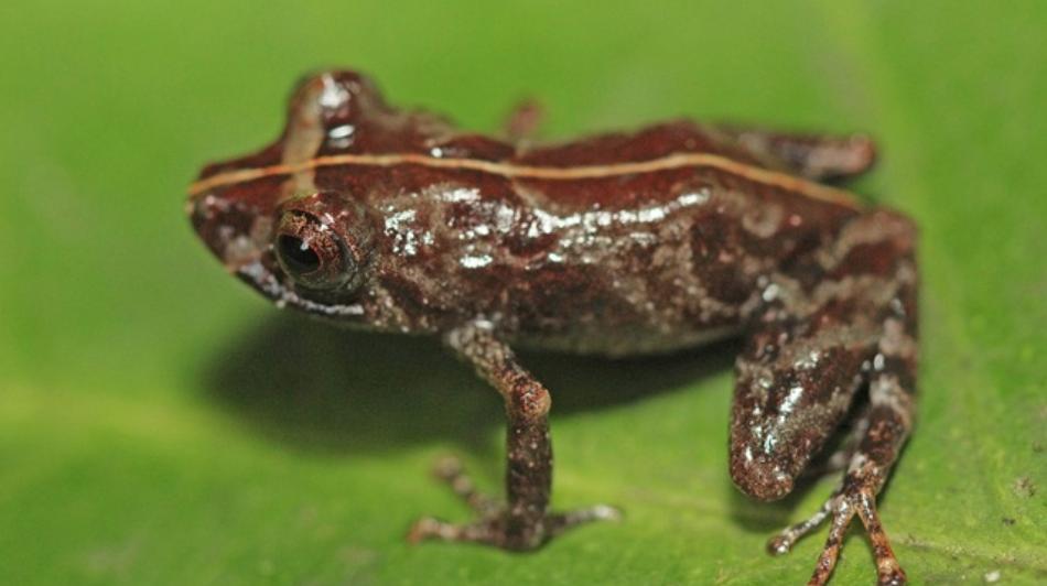 'Pritimantis sira' nueva especie