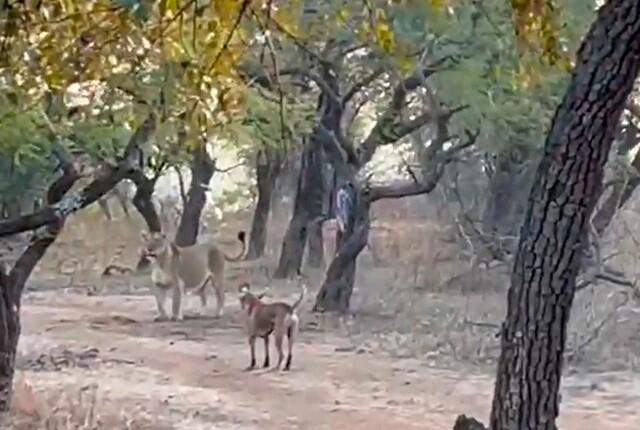 perra-acorrala-a-una-leona-en-una-reserva-natural.jpg