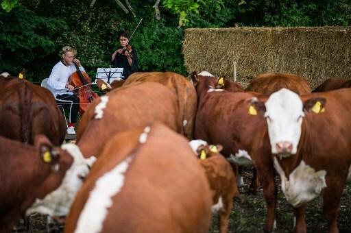 música clásica para vacas