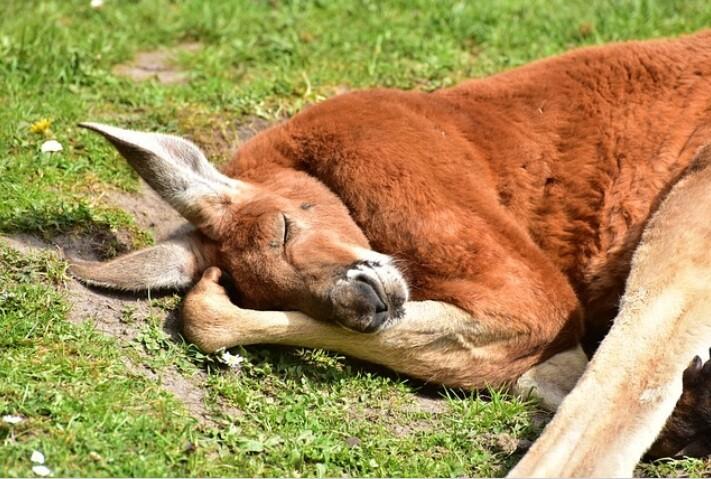 Exhausto canguro fue salvado por una familia