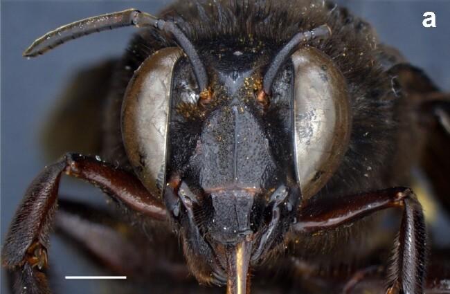 abeja androgina