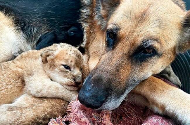 pastor-aleman-adopta-cachorros-de-leon.jpg