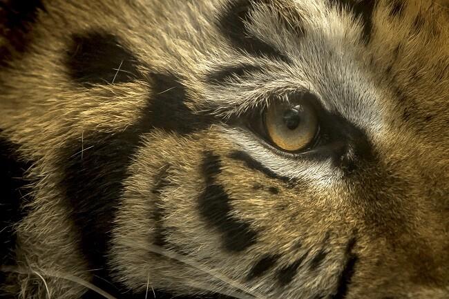 tigre suelto