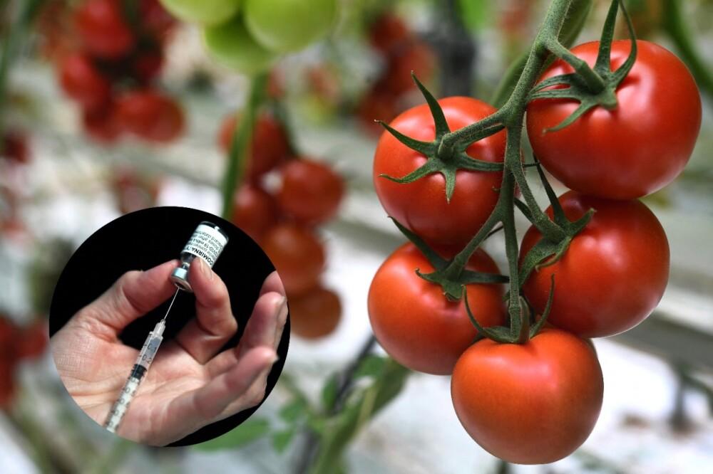 Vacuna contra el COVID-19 en tomates.jpg