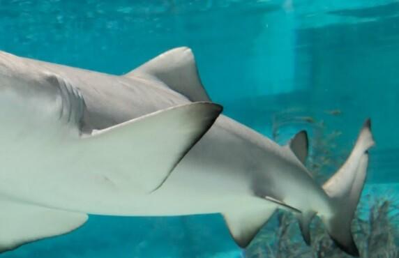 Tiburón casi le arranca la mano a un pescador