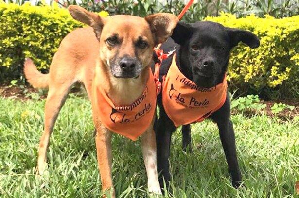 Tinto y Betty, los dos perros criollos que ahora corretean por la Alcaldía de Medellín. Foto: cortesía.