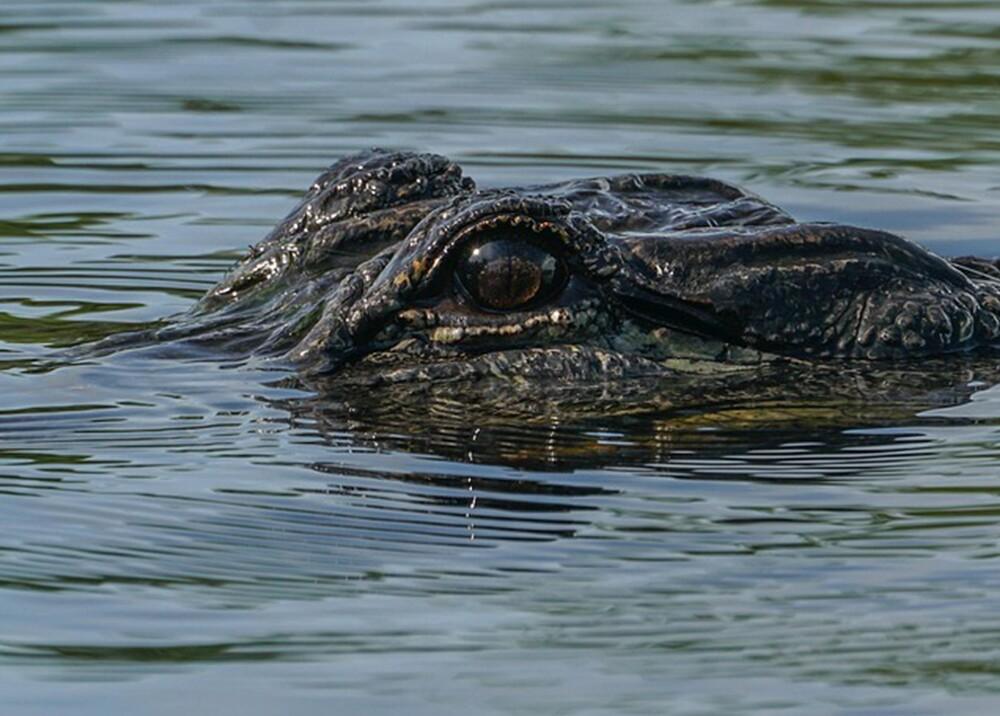 16982_La Kalle. Encuentran a cocodrilo en la cabeza / Foto: Pixabay