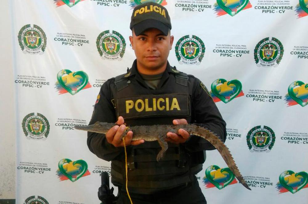 277132_Rescatan 54 especies de fauna silvestre en Antioquia / Foto: @Policiantioquia