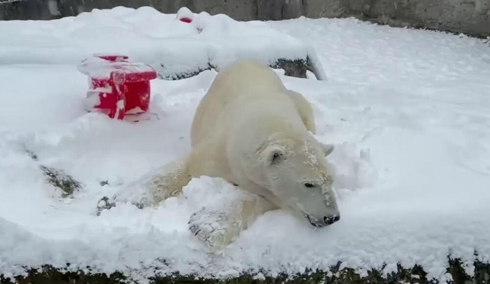 oso polar se divierte en la nieve en Washington