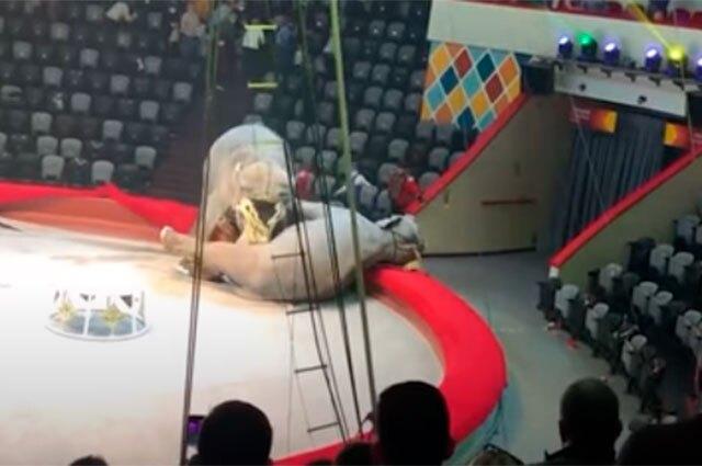 Elefantas se enfrentan en circo de Rusia