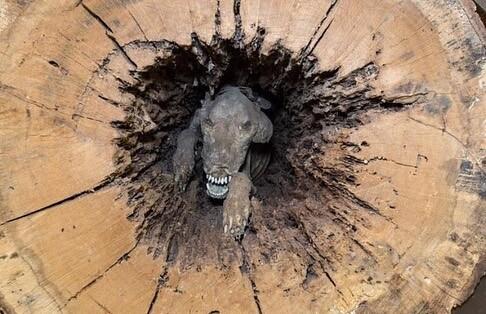 Perro momificado en un roble
