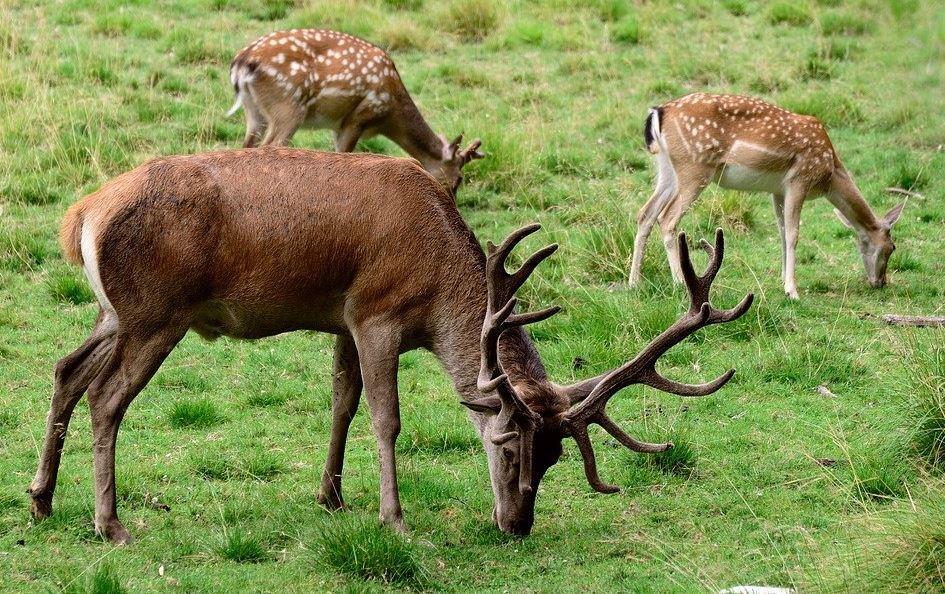 manada de ciervos aparecen en carretera