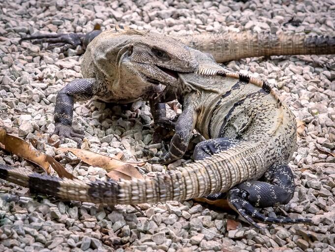 Vicious Iguana Dominance Fight