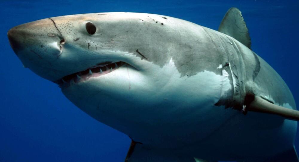 Tiburones blancos devoran a una ballena en Estados Unidos
