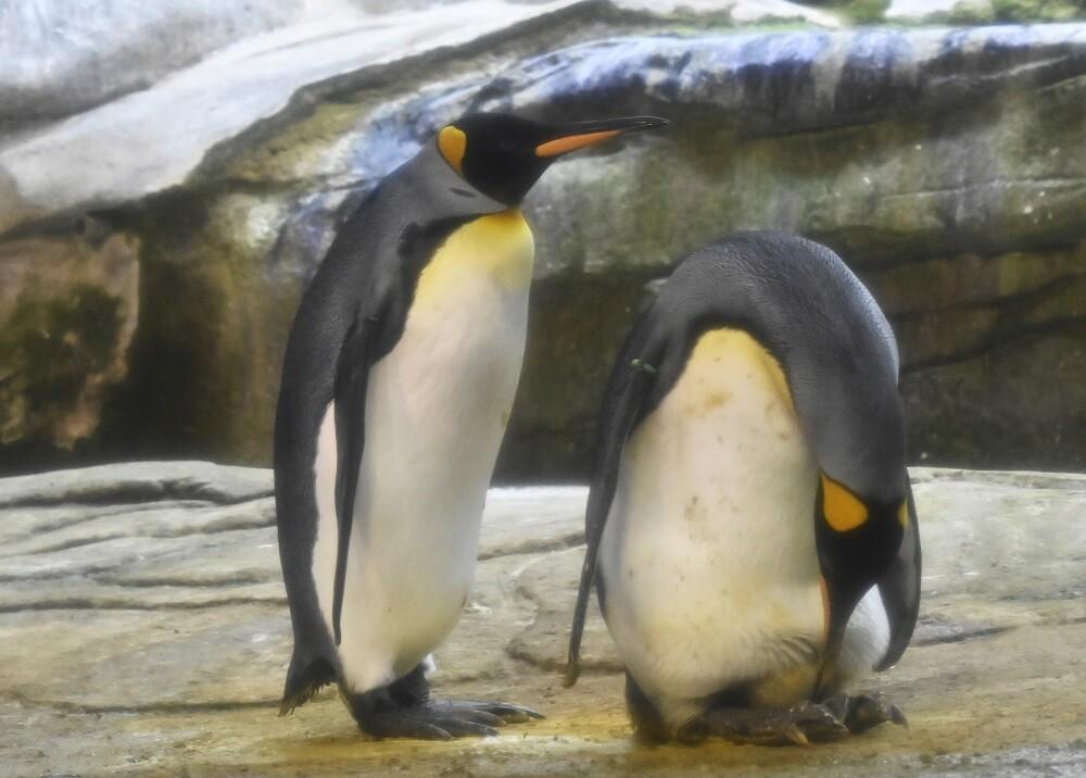 341335_BLU Radio // Pingüinos // Foto: AFP