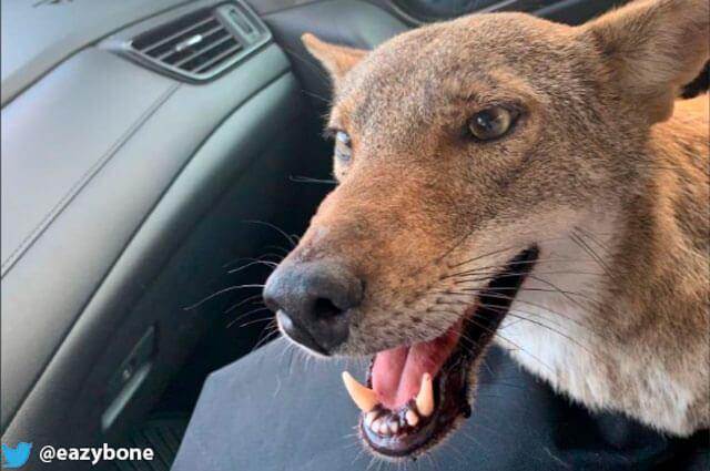 nota-coyote.jpg