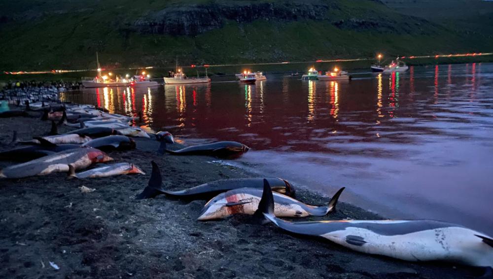 Cacería que se festeja anualmente dejó como resultado más de 1.400 delfines muertos