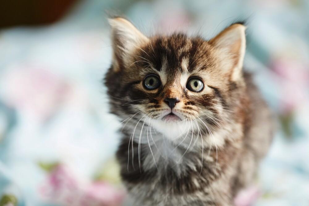 Tabby kitten looking at camera