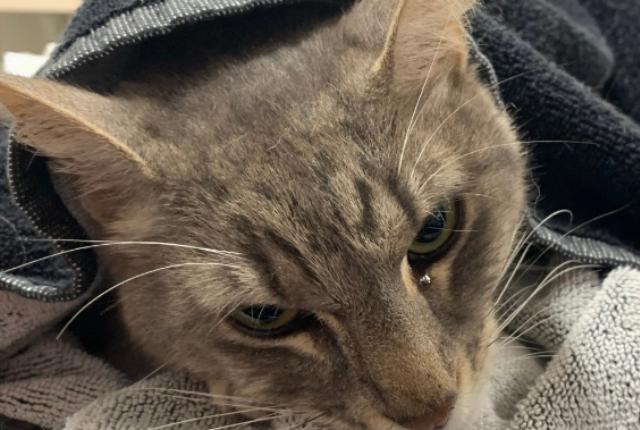 Arthur, gato que murió por mordeduras de serpiente