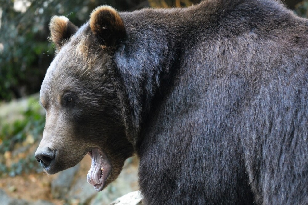 Oso grizzly.jpg