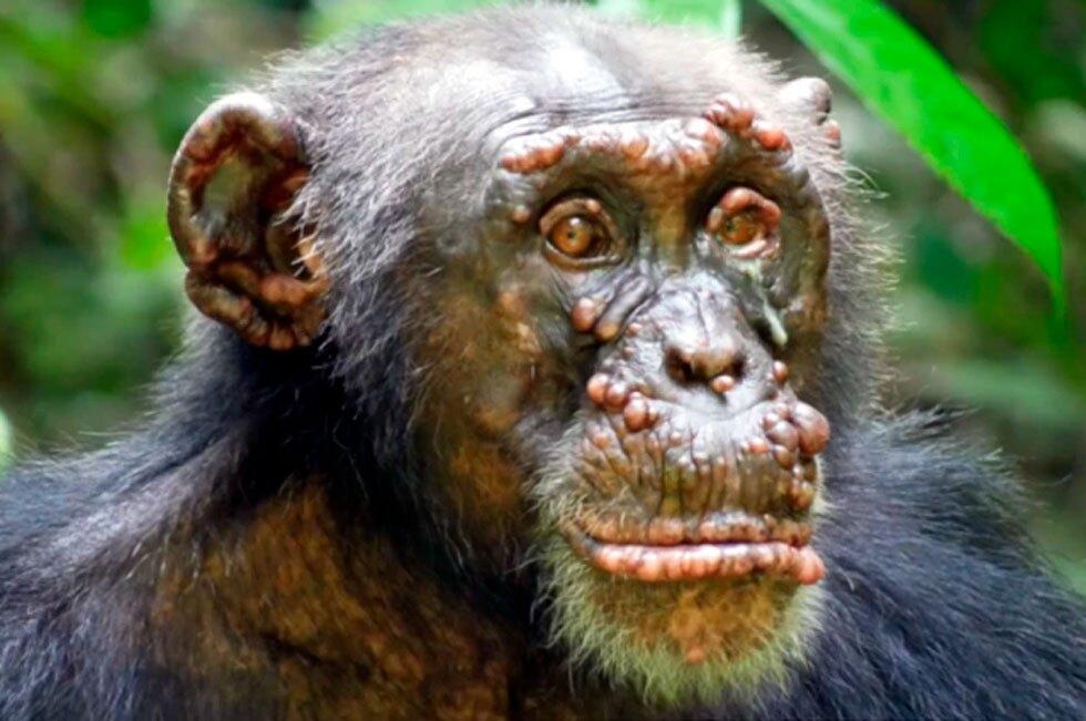 Lepra en chimpancés salvajes
