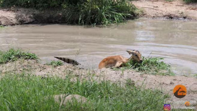 impala escapa de cocodrilo y se lo come un leopardo